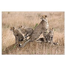 Cheetah Family Wall Art Framed Print